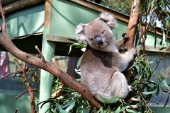 Koala auf dem Baum stockbild