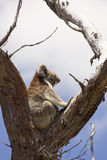 Koala auf die Baumoberseite Stockfoto