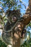 Koala auf einem Baum stockfotografie