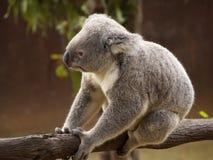 Koala auf einem Zweig lizenzfreies stockfoto