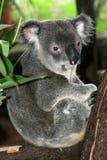 Koala, Austrália Fotos de Stock