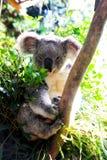 Koala in Australië Stock Foto's