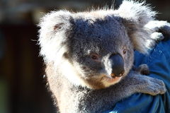 Koala in Australië Stock Foto