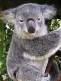 Koala in Australia stock image