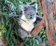 Koala, Australia. Koala in a eucalyptus tree eating a gum leaf, Australia Stock Images