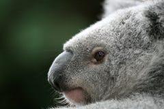 Koala, Australia. Koala Bear in a tree, Australia stock photo