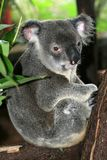 Koala, Australia. Koala bear sitting in a tree, Australia stock photos