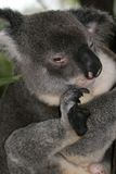 Koala, Australia Royalty Free Stock Image