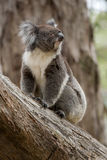 Koala Australia Royalty Free Stock Photography