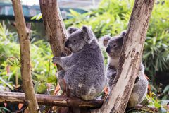 koala in guangzhou wildlife zoo stock photography