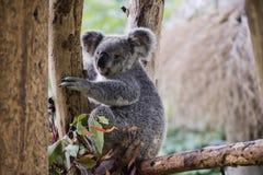 koala in guangzhou wildlife zoo Royalty Free Stock Photography