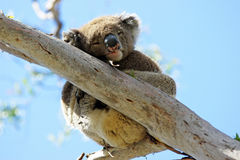 Koala, Australia Stock Photography
