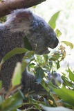 Koala at australia zoo. Koala in Australia zoo relaxing hiding behind plant Stock Images