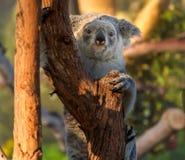 Koala. An Australian Koala Bear in a tree royalty free stock photo