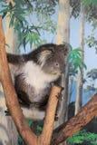 Koala Royalty Free Stock Image