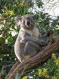 Koala australiana che esamina la macchina fotografica Fotografia Stock Libera da Diritti