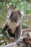 Koala australiana nativa Fotografía de archivo libre de regalías