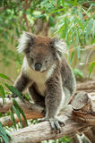Koala australiana nativa Fotografía de archivo