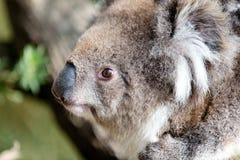 Koala australiana su un primo piano dell'albero fotografia stock libera da diritti