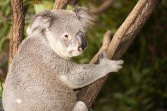 Koala australiana sveglia che riposa durante il giorno Fotografie Stock Libere da Diritti
