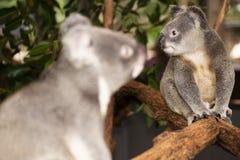 Koala australiana sveglia che riposa durante il giorno Fotografia Stock Libera da Diritti