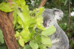 Koala australiana sveglia che riposa durante il giorno Fotografia Stock