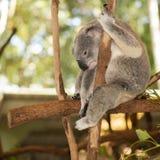 Koala australiana sveglia che riposa durante il giorno Immagine Stock