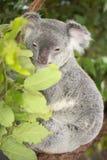 Koala australiana sveglia che riposa durante il giorno Immagini Stock