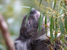 Koala australiana tomada con alcanzar de los arbustos imagen de archivo