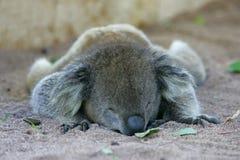 Koala australiano fotografia de stock