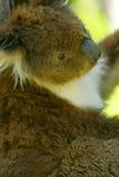 Koala australiano Fotografía de archivo libre de regalías