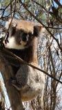 Koala australiano Immagini Stock