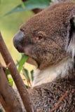 Koala australiano acima de uma árvore Foto de Stock Royalty Free