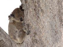 Koala australiano na árvore fotos de stock royalty free