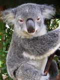 Koala in Australien Stockbild