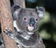Koala in Australien Stockbilder