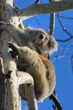 Koala-Australien Stockfotos