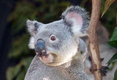 Koala australien Photographie stock