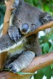 Koala australien Photographie stock libre de droits