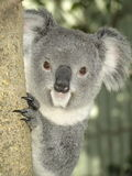 Koala in Australien Lizenzfreies Stockbild