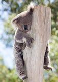 Koala australien Photos stock