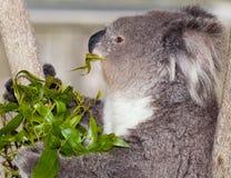 Koala australien Photo libre de droits