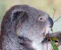 Koala australien Image stock