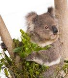 Koala australien Images libres de droits