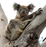 Koala in Australien Lizenzfreie Stockfotografie