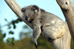 Koala australien dormant dans un arbre de gomme Photo stock