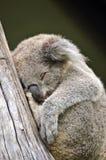 Koala australien mignon dormant dans un arbre de gomme Photos libres de droits