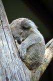 Koala australien mignon dormant dans un arbre de gomme Images libres de droits