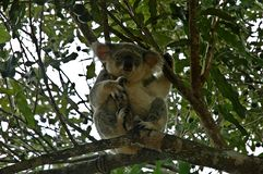 Koala in Australien lizenzfreie stockfotos