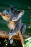 Koala - Australiens Ikone stockfotografie